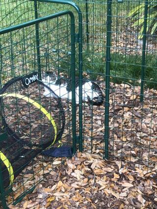 Koopa enjoying outdoors thank you Omlet!