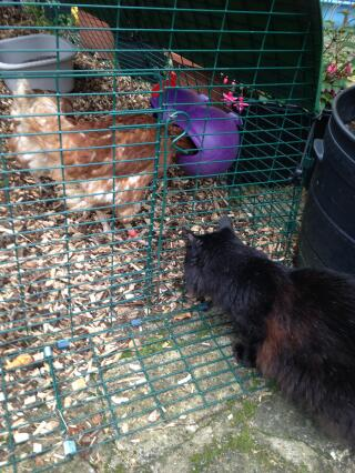 Absynthe meeting her new chicken friends for the first time!