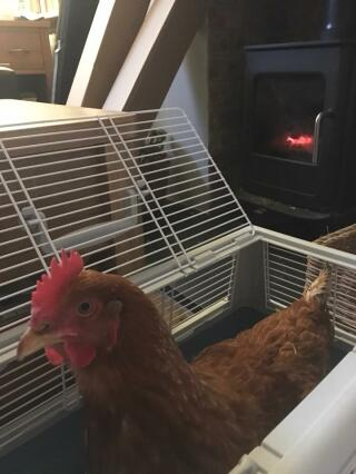 Drying chicken post bath