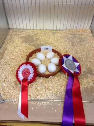 White Leghorn Eggs