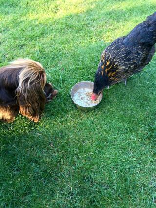 My dog is ever hopeful that the hens will leave her some food!