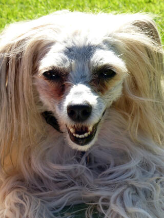 Ollie - Chinese crested powder puff
