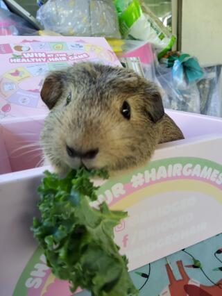 Nibbles the piggie