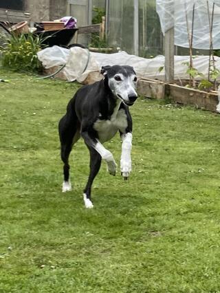 whippet running down garden
