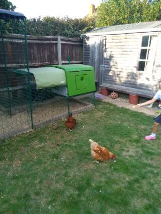 The chickens love their Cube! And so do I!