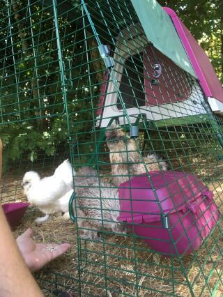 Première rencontre avec leur nouvelle maison pour les poules et le coq Soies