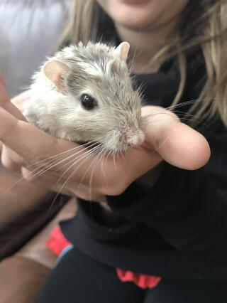 My new gerbil Ginger