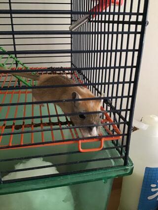 6 week old gerbil, chirps randomly