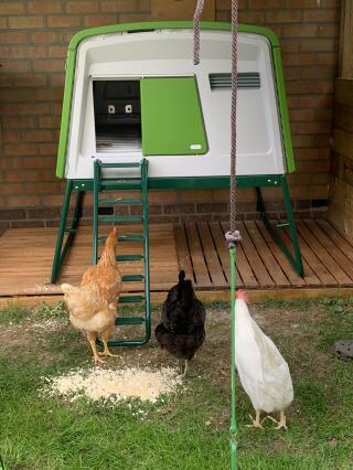 Mes poules en contemplation devant leur nouvelle demeure