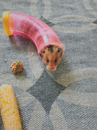 Isaacs hamster Bosse