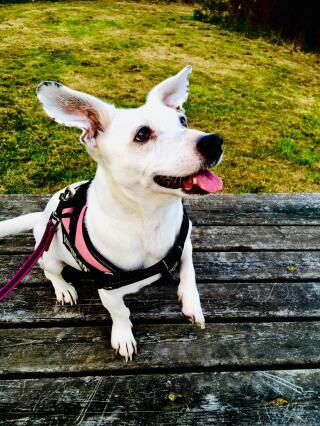 Russel terrier ( shorter legs!)