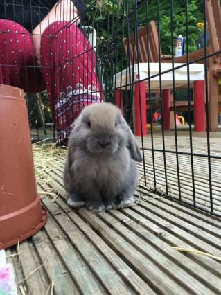 beige mini lop buddleia bunnies