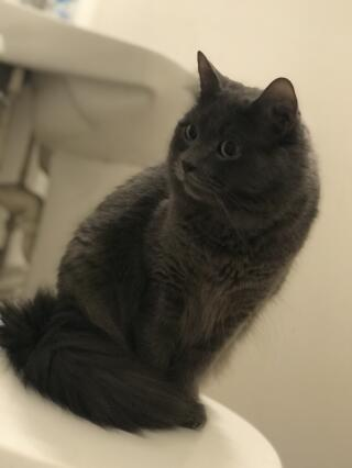 My Beautiful Nebelung Cat. His name is Spencer
