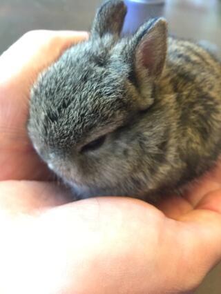 Small Netherland dwarf baby :)