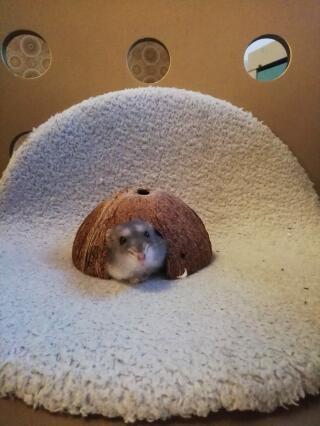 Kokosnöt hamster