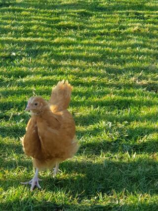 Buff Orpington Chick free ranging