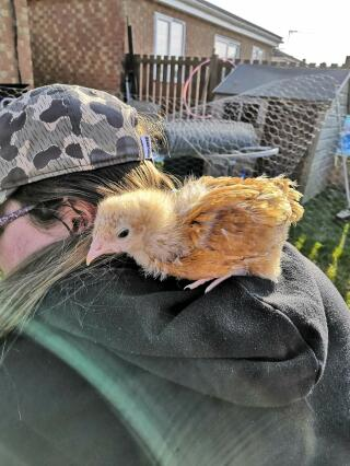 Loki thinks shes a parrot! - Buff Orpington Chick