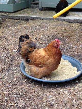 Buff Pekin Hen