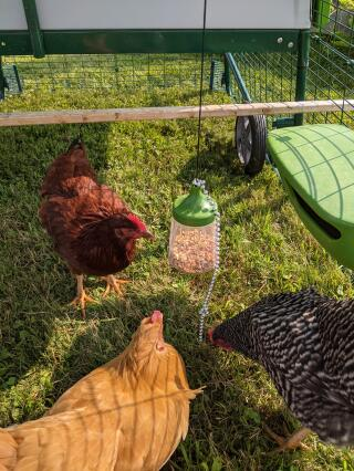 Entertainment for the chickens