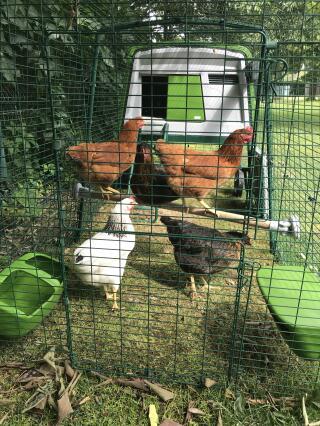 Le perchoir indispensable... les poulettes en sont contentes