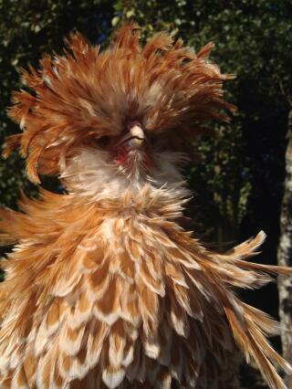polish cockerel