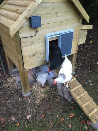 Sortie matinale des poules