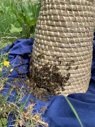 Skep used successfully to collect a large swarm