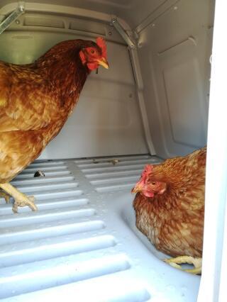 Si ça peut vous intéresser voici plusieurs enchaînements de mes poules (pour monter et descendre) car les gens me demandent souvent comment elles font :-)