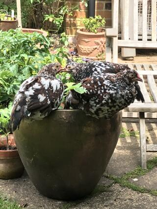 Speckled Sussex pullets loving strawberries
