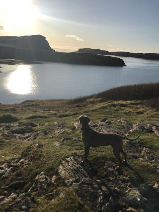 Weimaraner admiring the view