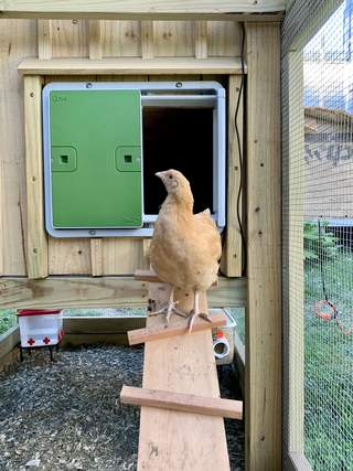 Flüf the Buff Orpington loves the Automatic Chicken Coop Door