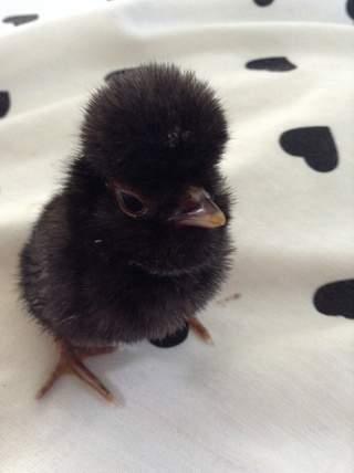Poland chick