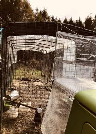 Chickens feel secure under the heavy cover