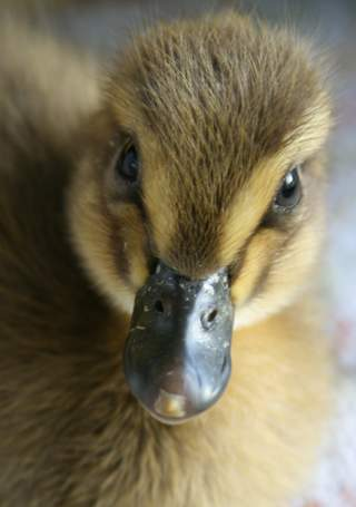 Dave, 2 day old runner duckling.