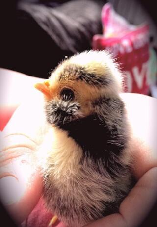 Polish chick
