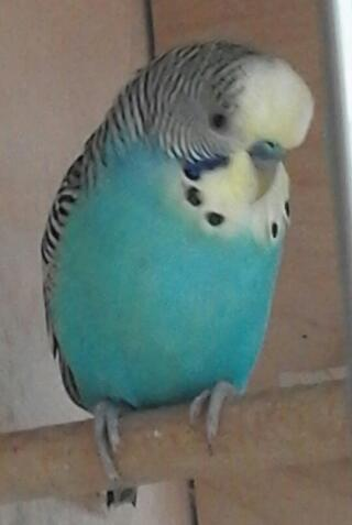 peri the male budgie