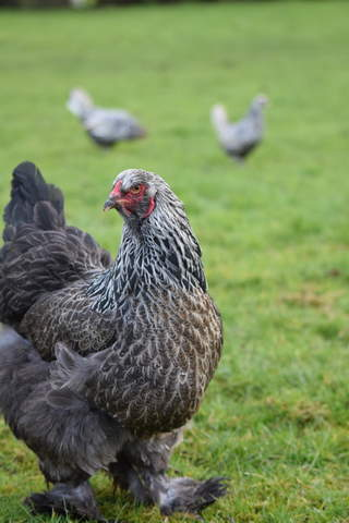Brahma For Sale | Chickens | Breed Information | Omlet