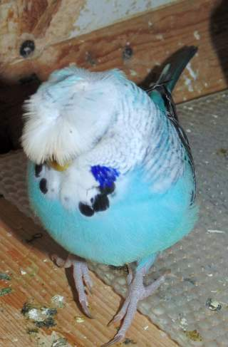 Crested budgie