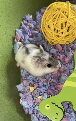 Our hamster 'Cutie' named by my 2 year old!