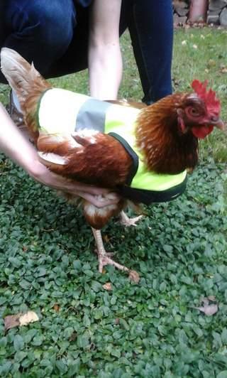 Behutsam wird die Hühner-Warnweste angelegt
