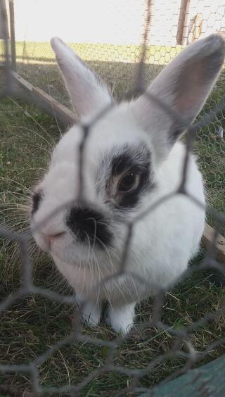 Voici mon lapin , Zorro âgé de 3 ans et demi , c'est un mâle