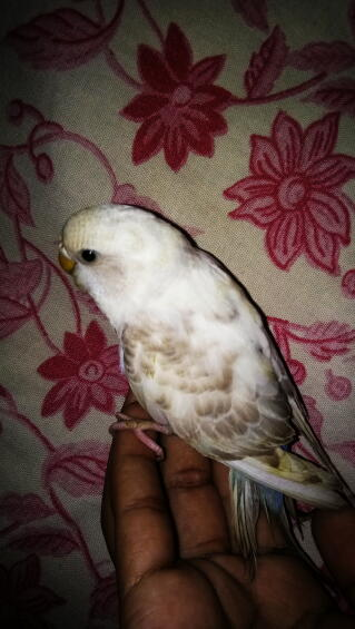 Budgie 2 months old