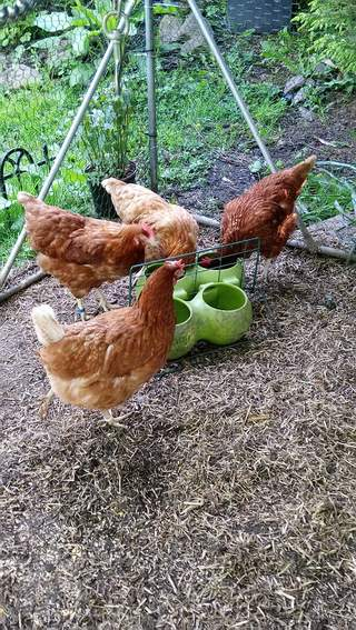 4 happy chooks all able to feed without squabbles - Esme Aggie Mags and Gythia