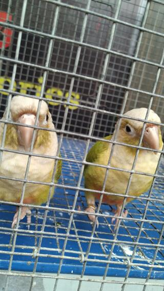 A pair of pineapple conure...