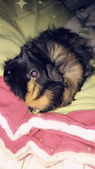 Minnie my Abyssinian guinea pig.