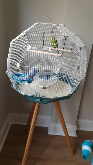 Budgie in their new Geo Cage!