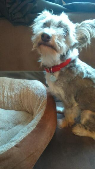 scruffy looking chinese crested (powderpuff)