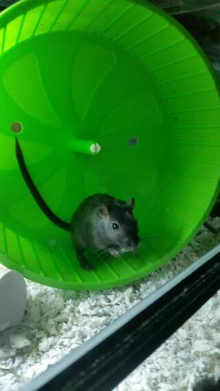 Gerbil wheel