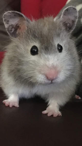 Kit our hamster