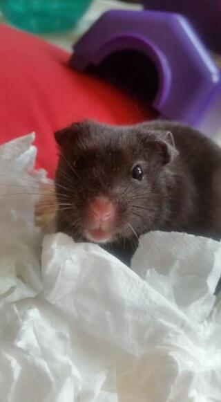 Black hamster